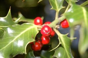 photo christmas berries