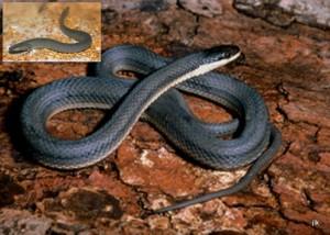 photo queen snake western lesser siren michigan