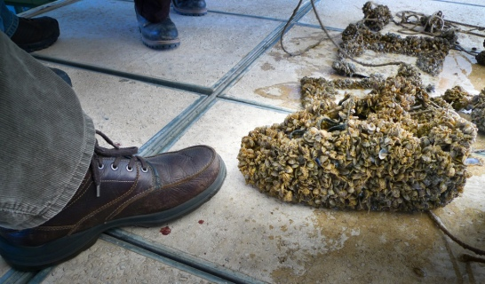 photo quagga mussels shoe invasive
