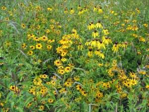 flower prairie restoration shiawassee
