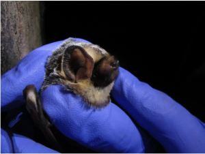 michigan hoary bat