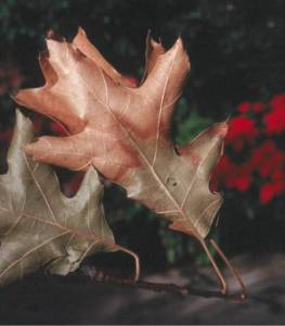 Classical symptoms of oak wilt on red oak leaves.  Credit: Michigan State University