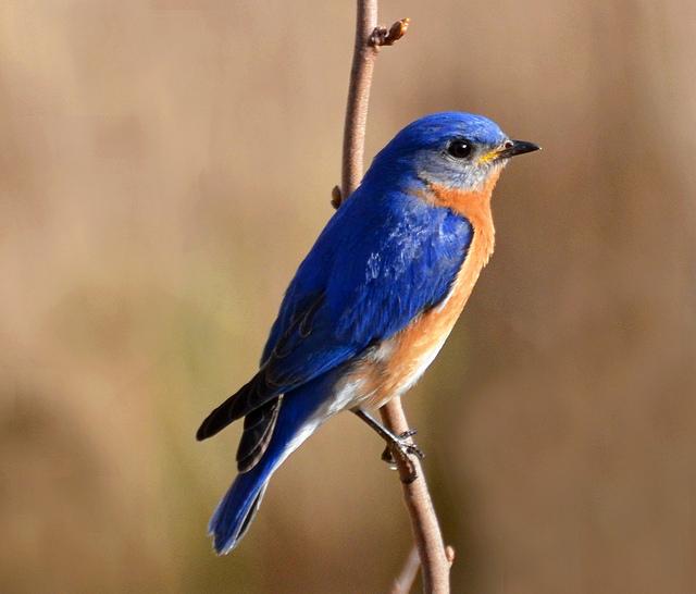 eastern bluebird michigan birding