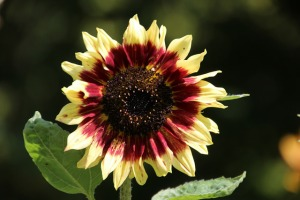 solar garden flower