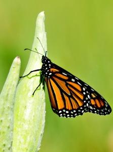 monarch milkweed butterfly habitat