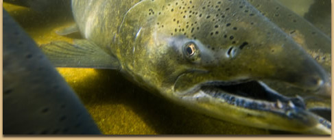 chinook-salmon-usfws-pacific