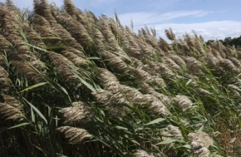 phragmites-michigan-sea-grant