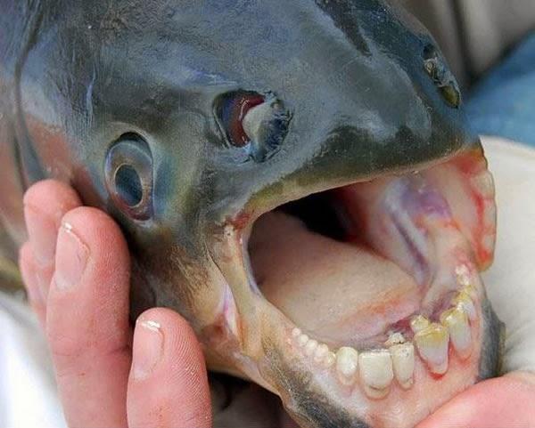 pacu-fish-human-teeth
