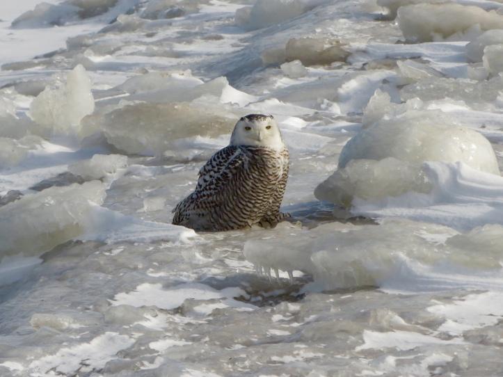 snowy owl lake michigan