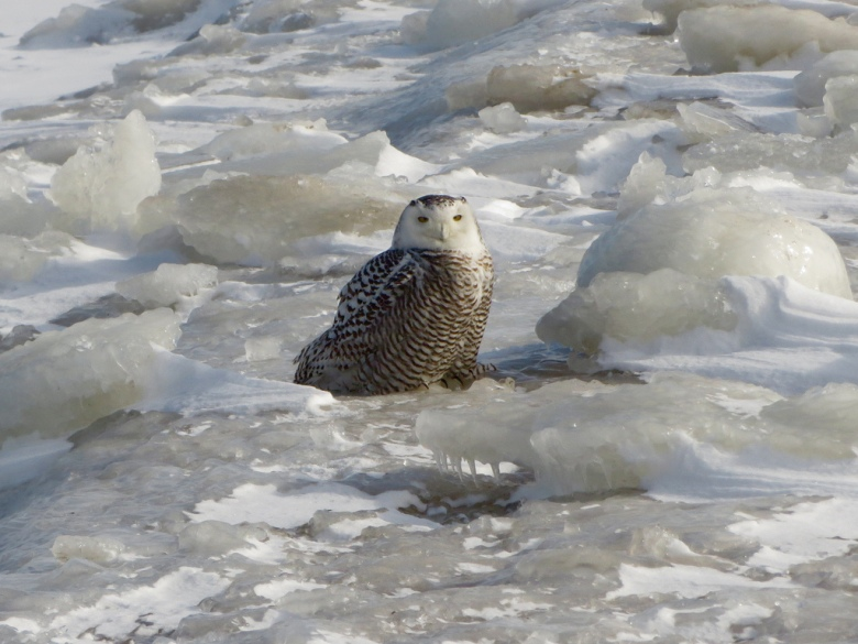 snowy owl lake michigan
