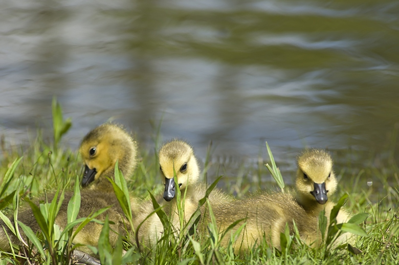 Goslings are a common sight in Michigan in the spring