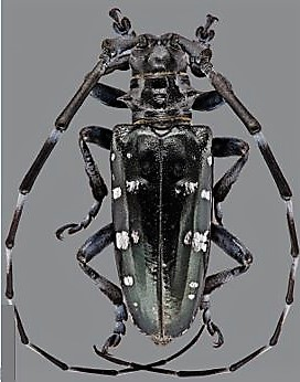 asian long horned beetle dnr