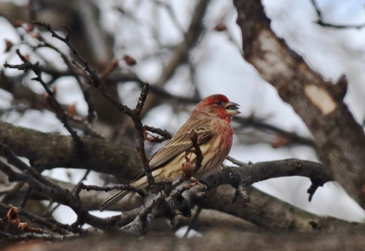 purple finch bird birding michigan